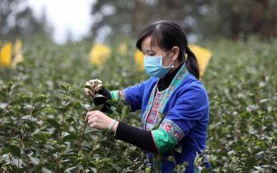 El impacto del coronavirus en las cosechas de té en china
