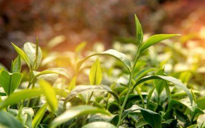 SARS-CoV-2. Los compuestos químicos del té verde podrían inhibir una enzima clave del coronavirus.